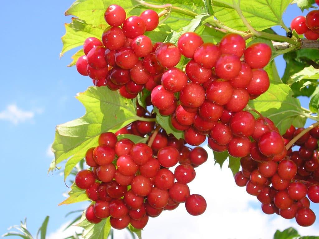 Калина – вкусное лекарство от повышенного давления