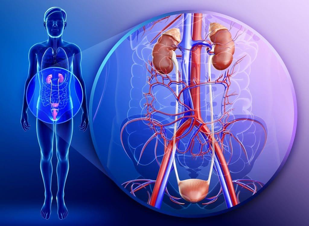 Влияние мочеполовой системы на повышение давления