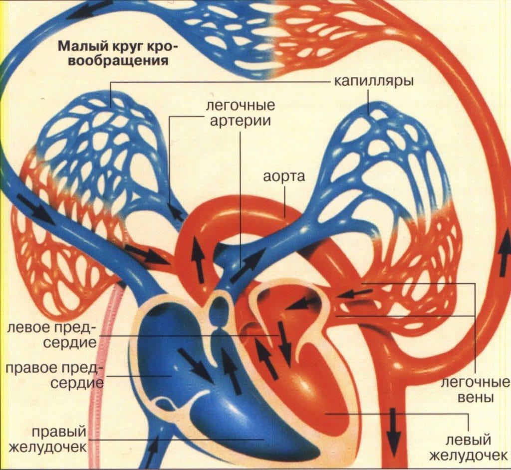 Кровообращение в сердце