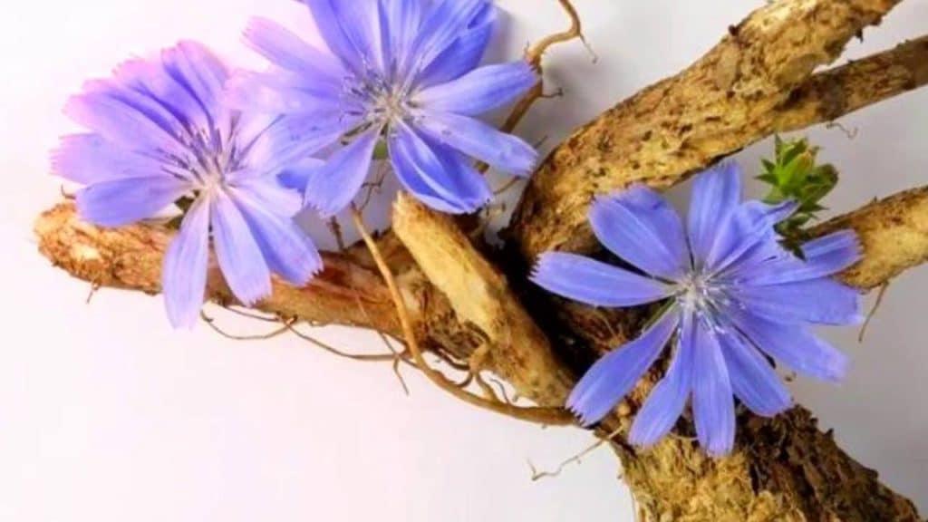 Цикорий и давление: польза и вред растения