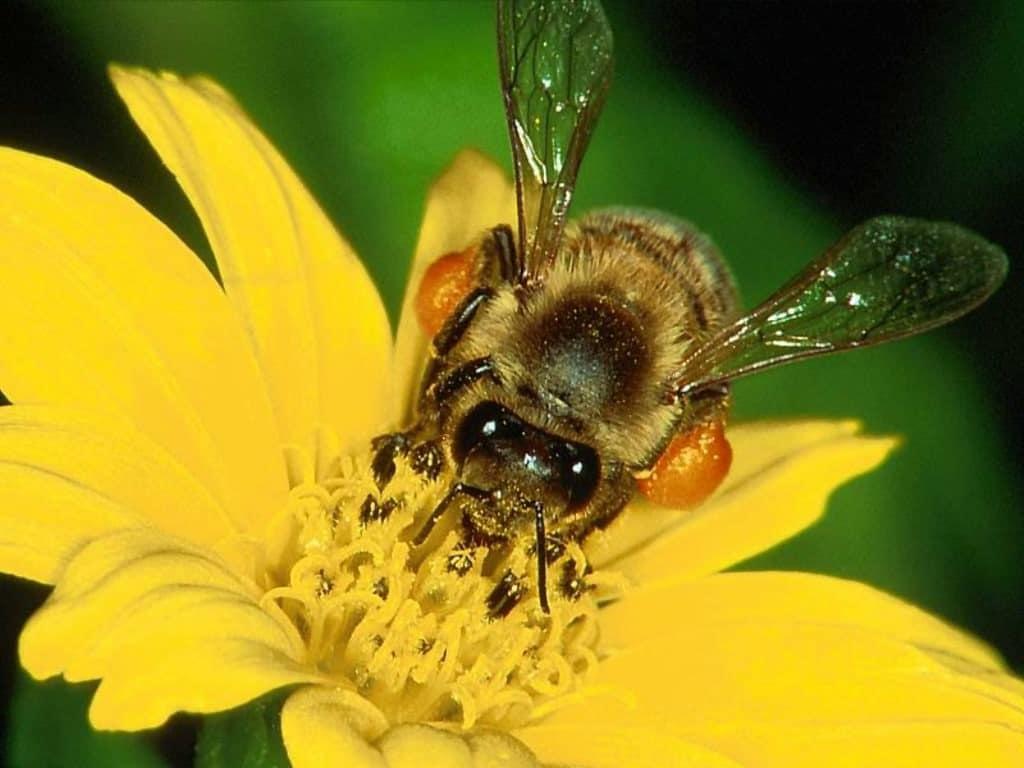 Пчелиный яд в составе Нормалайф