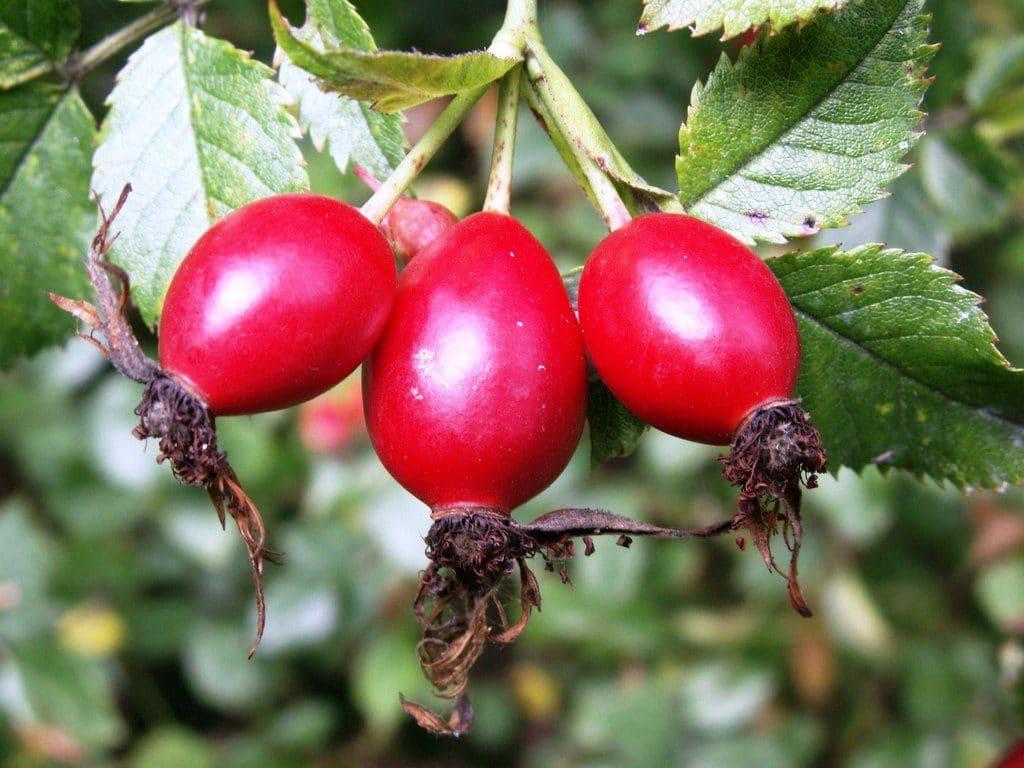 Плоды шиповника при давлении