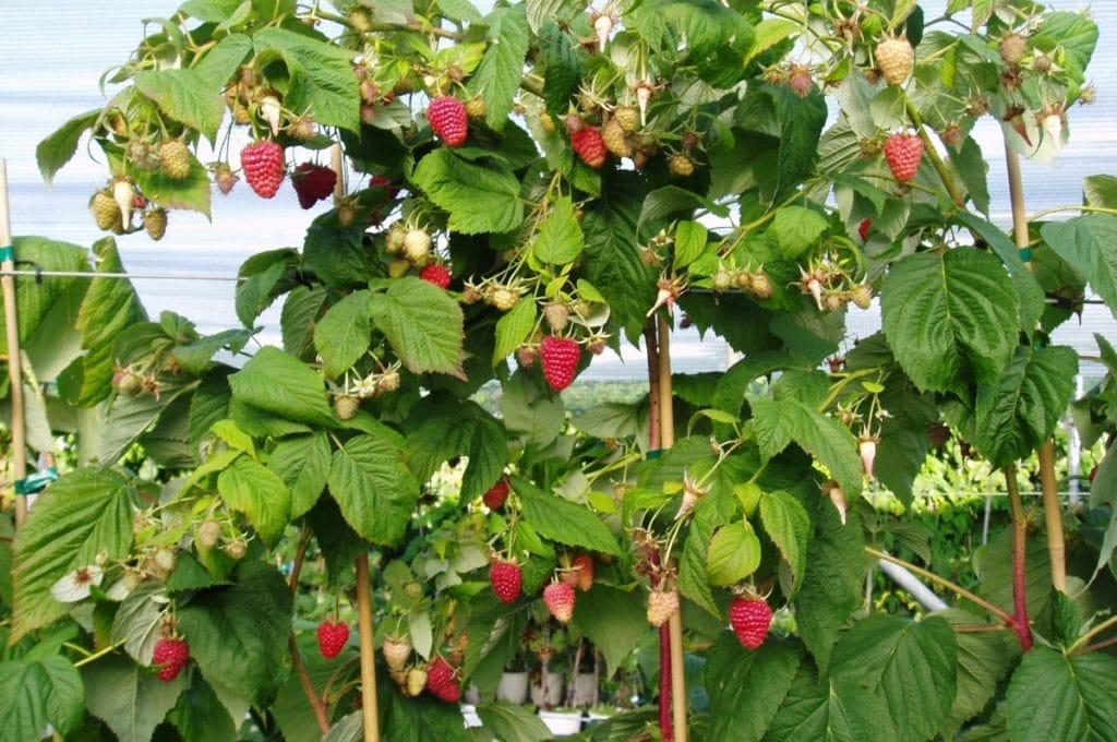 Ягоды и листья малины при гипертонии