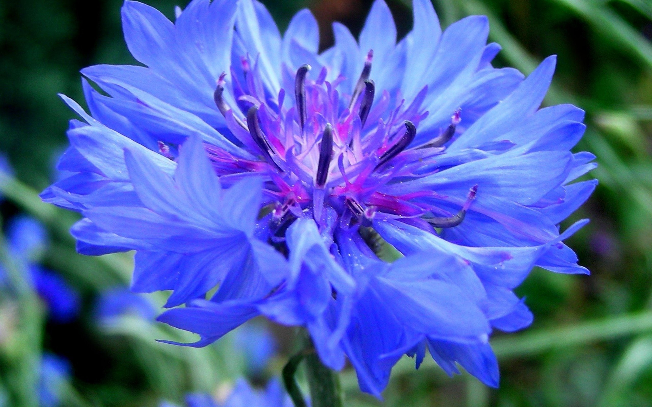 Цветок синего василька при аритмии сердца