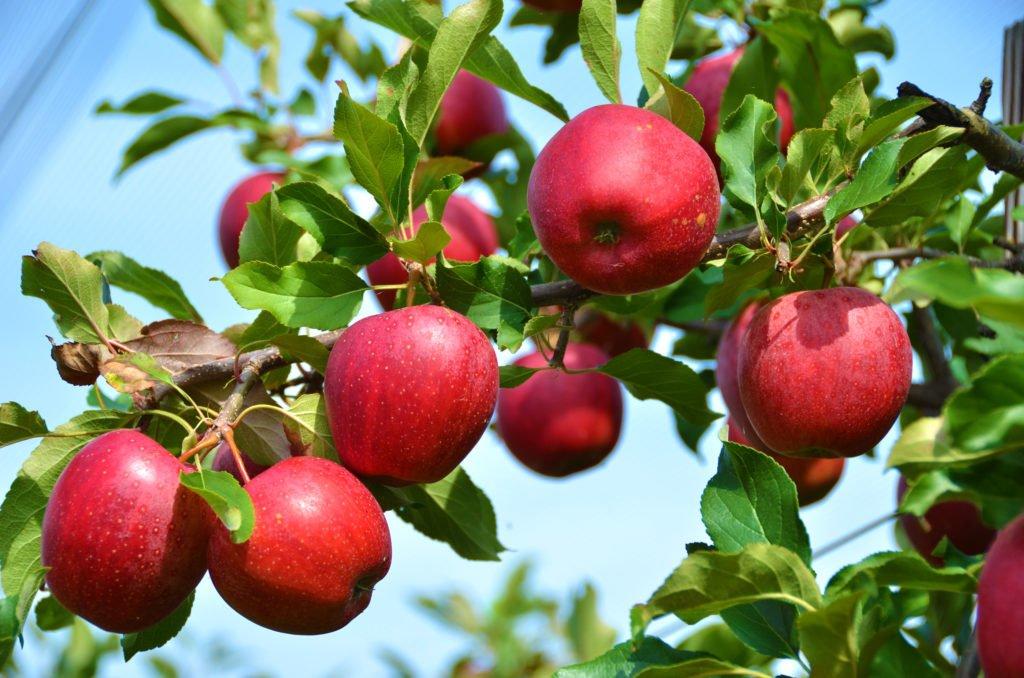 Польза яблок при мерцательной аритмии